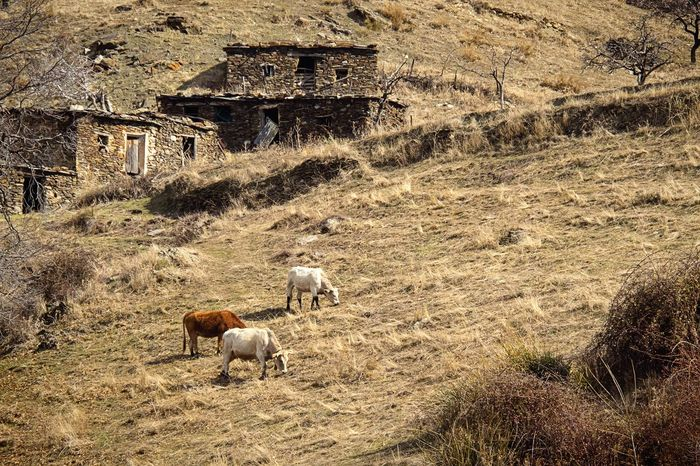 Rural Scene Mountain Farm Life Cows Animals Farm Animals Alpujarra Andalucía Abandoned Places Old House Nature Graze Grass Country Life Herd Of Cows Rural Landscape Getting Inspired EyeEm Best Shots Outdoors Connected With Nature EyeEm Nature Lover
