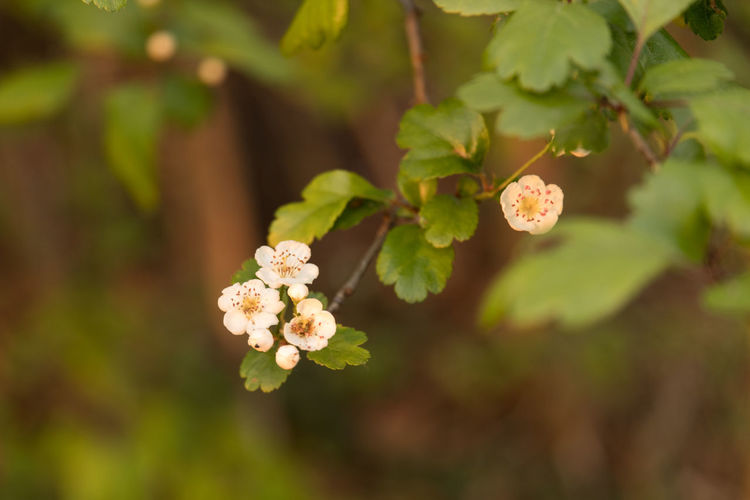 Close-up of fresh white flowers blooming on tree