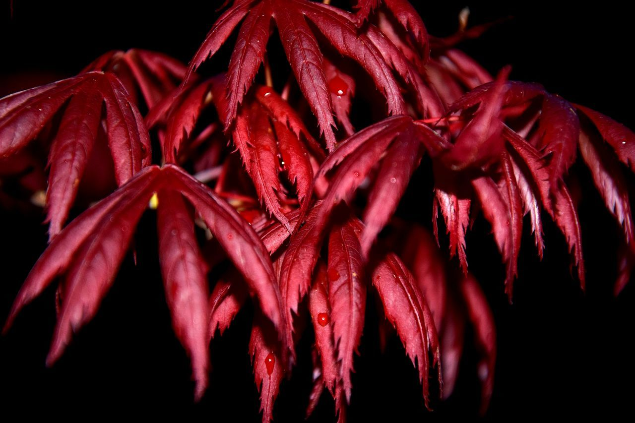 red, flower, close-up, petal, no people, flower head, fragility, wet, black background, beauty in nature, freshness, studio shot, nature, outdoors, day