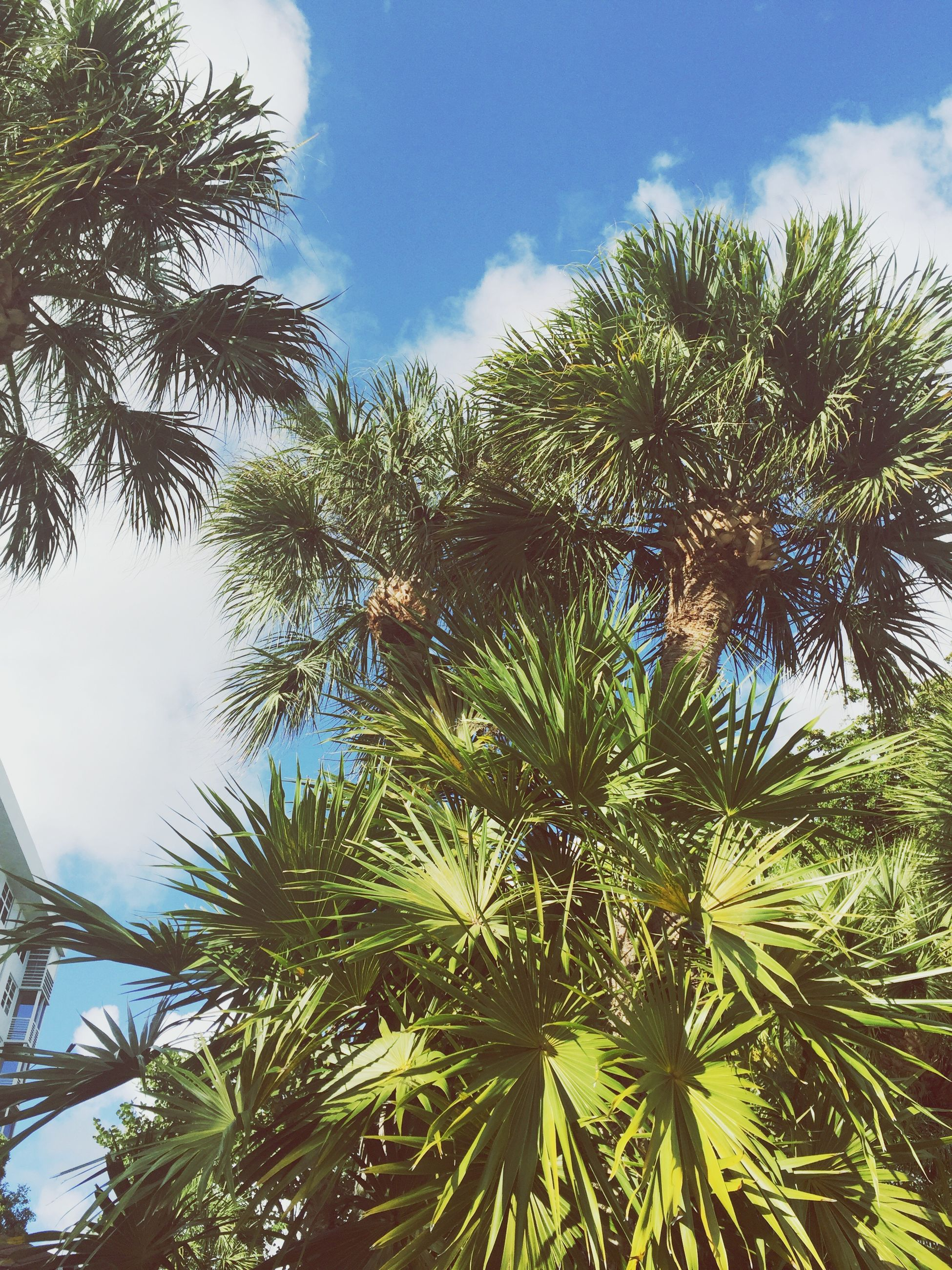 low angle view, tree, sky, growth, palm tree, green color, nature, cloud - sky, tranquility, branch, beauty in nature, cloud, leaf, day, tall - high, outdoors, tree trunk, no people, scenics, sunlight