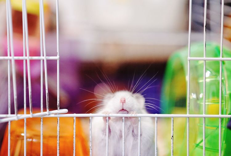 Close-up of white hamster in cage
