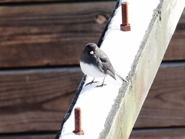 Darkeyedjunco Dark Eyed Junco Bird Perching Animals In The Wild One Animal Animal Themes Animal Wildlife Wood - Material No People Focus On Foreground Day Close-up Outdoors Nature