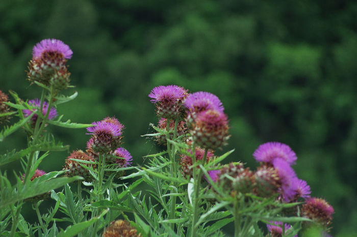Nature Beauty In Nature Blooming Cardo Flower Growth Nature No People Outdoors Plant Purple