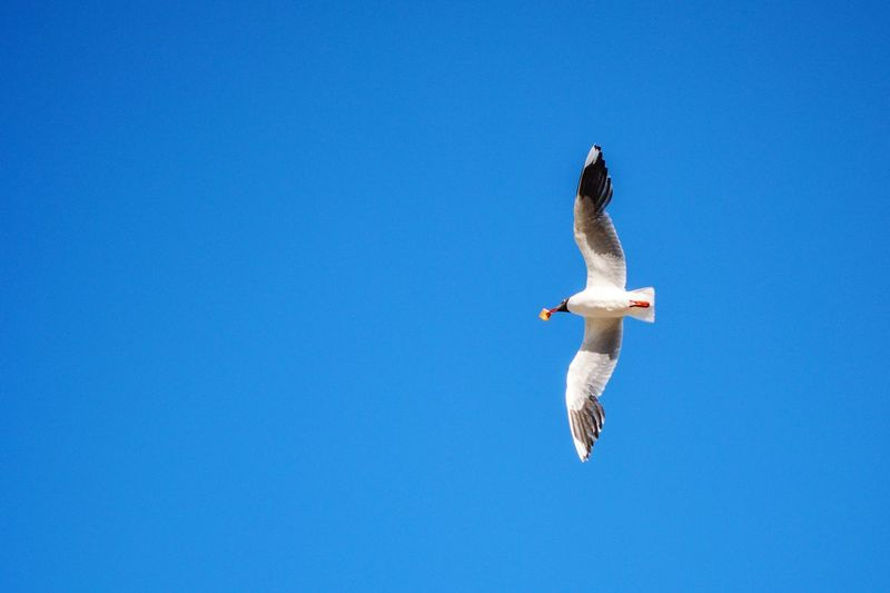 White seagull wildlife bird animal flying around the sky with a cookie, above perspective light blue background Cookie Blue Sky Bird Of Prey Bird Spread Wings Flying Clear Sky Bald Eagle Blue Mid-air Sky Eagle - Bird Hawk - Bird Animal Wing Beak Falcon - Bird Damselfly Flapping Animal Body Part Vulture Animal Neck Feather  Hornbill Dragonfly Ibis Perching The Minimalist - 2019 EyeEm Awards The Minimalist - 2019 EyeEm Awards