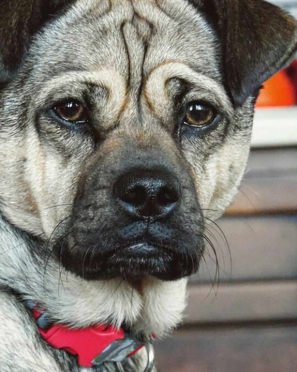 dog, one animal, pets, domestic animals, animal themes, close-up, mammal, focus on foreground, animal head, no people, portrait, day, outdoors, looking at camera