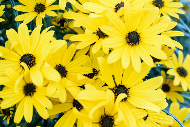 Close-Up Of Sunflowers Blooming Outdoors