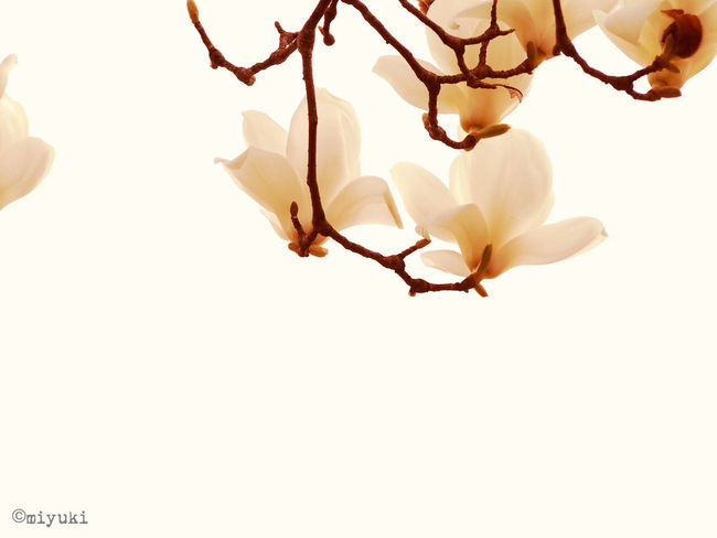 Magnolia-report-2015 Magnolia Flowerporn EyeEm Nature Lover EyeEm Best Shots