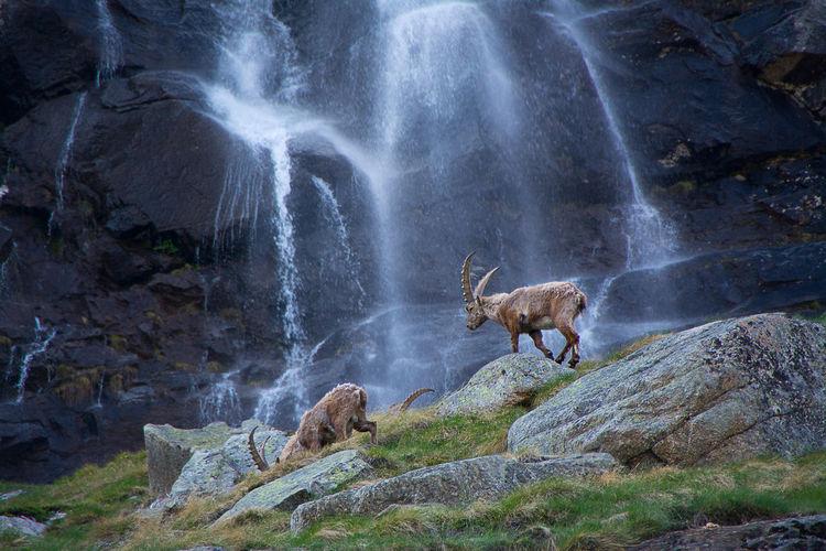 Deer standing on rock against waterfall