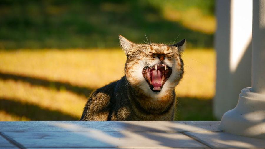 Close-up of cat yawning