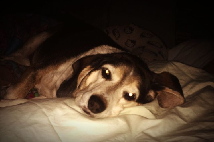 Portrait of dog lying on bed