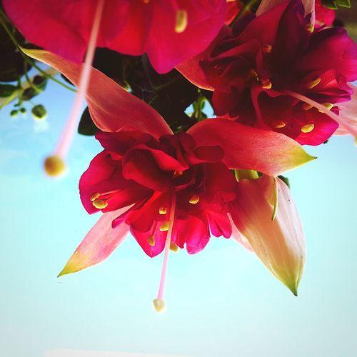 Flower Pink Color No People Close-up Nature Day Outdoors Freshness Flower Head Fragility Sky Beauty In Nature çiçek Begonvil Begonvilçiçekleri Çeşme, Alaçatı Çeşme 🏖