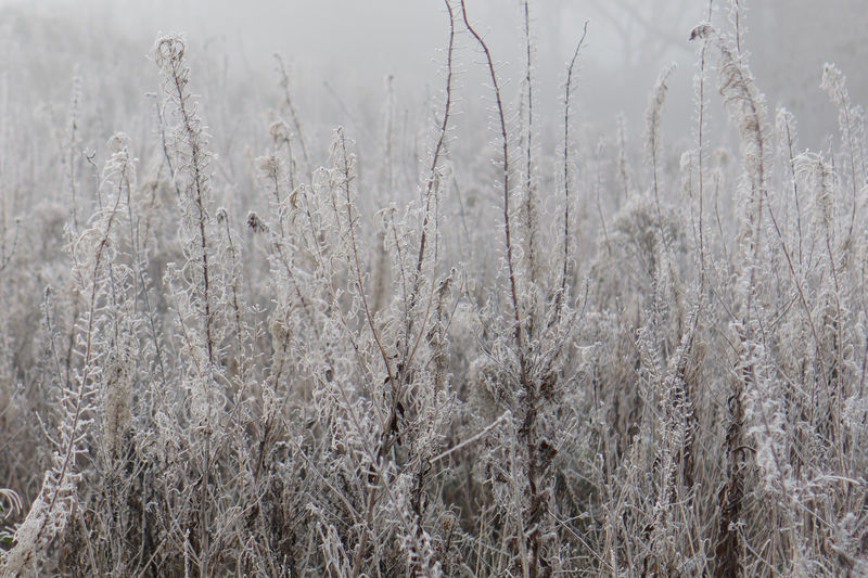 Close-up of stalks in snow