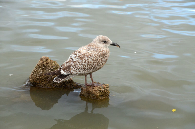 Herring Gull Bird Water One Animal Lake Outdoors Seagull Animal Wildlife Perched On A Rock