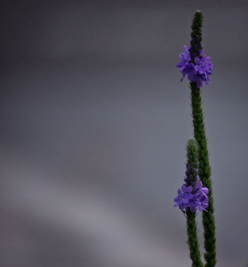 Pretty purple weeds. Flowers Minimalism Nature Purple Purple Flowers Purple Weeds Weeds
