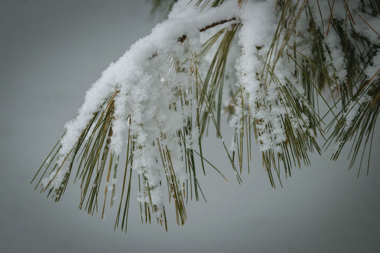 Close-up of snow covered pine tree against sky
