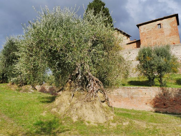 olive tree Torre A Castello Siena Countryside Siena, Italy Siena Tuscany Tuscany Tuscany Countryside Tuscany Italy Tuscanygram Tuscanygram Tuscany Landscape Olive Tree Olive Trees Castle Ruin Castle Country House Sky Architecture Building Exterior Built Structure Castle Medieval Aged Green Olive Olive Destinations Fortified Wall