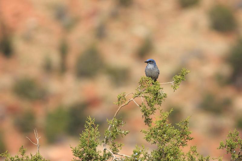 Western Scrub Jay Western Scrub Jay Bird Photography Animal Wildlife Utah Blue Bird Scrub Jay Bird Perching Tree Branch Songbird  Animal Themes