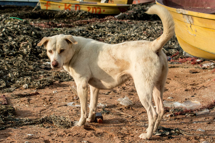 Dog at beach Abandoned Animal Beach Beach Day Beach Life Chonburi ,Thailand Dog Domestic Animals Look At Camera Outdoor Pet Time Yellow Dog