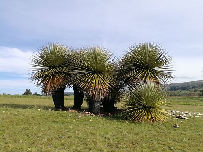 Arbol de la Puya .................. Nature Tree Growth Sky Outdoors No People Rural Scene Landscape Beauty In Nature Grass Mountain Green Color Grass Ayacucho Perú Ayacucho  Peru Field Trip Beauty In Nature Vacations Nature Puya Puya De Raimondi