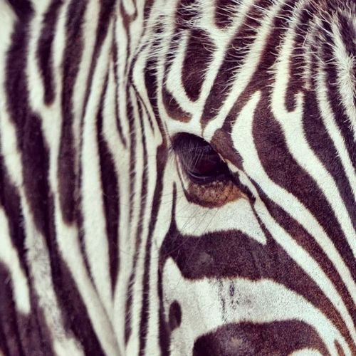 Zebra Whatalook Masaimara Kenya 2012 wildlife nature animal wildanimal instamoid instadaily bestoftheday bestphoto photography webstagram