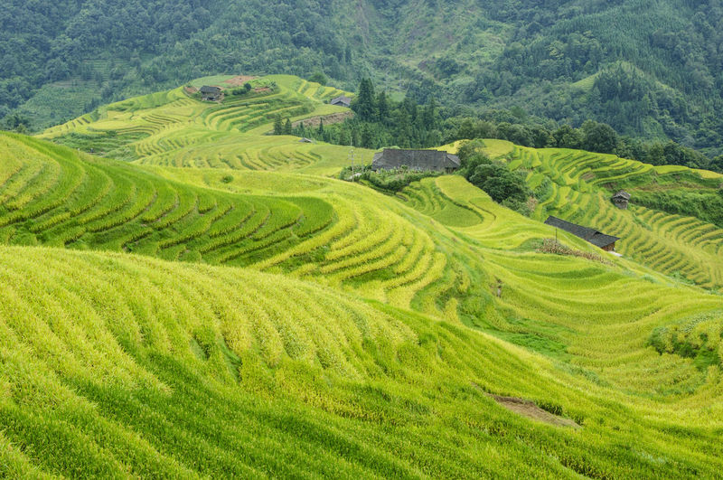 The terraced rice fields scenery in autumn Agriculture Autumn Farm Farmland Green Growth Guilin, Guangxi, China Longsheng Nature Plant Rice Paddy Scenic Travel Backgrounds Countryside Day Landscape Mountain Outdoor Picturesque Rice Field Scenery Season  Terraced Field Yellow