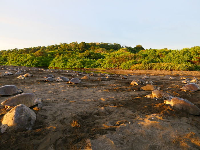 Playa Ostional Photography No People Noedit Nofilter Yellow Pet Portraits Focus On Foreground Sunset Lumix Beachphotography History Reflection Tortoise Tortoise Shell Shell Foliage Animal Themes Nature EyeEm Selects Agriculture Stack Sky Standing Water Civilization Historic Cultivated Land