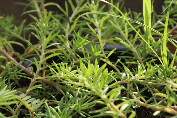 Full frame shot of herbs growing