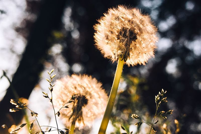 Dandelion Plant Flower Growth Flowering Plant Focus On Foreground Nature Fragility Close-up Flower Head Day Plant Stem Inflorescence Sunlight No People Freshness Vulnerability  Beauty In Nature Dandelion Outdoors Wildflower
