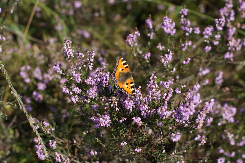 Beauty In Nature Blooming Blossom Butterfly Butterfly - Insect Close-up Flower Focus On Foreground Heather In Bloom Insect Nature Plant Pollination Purple Selective Focus