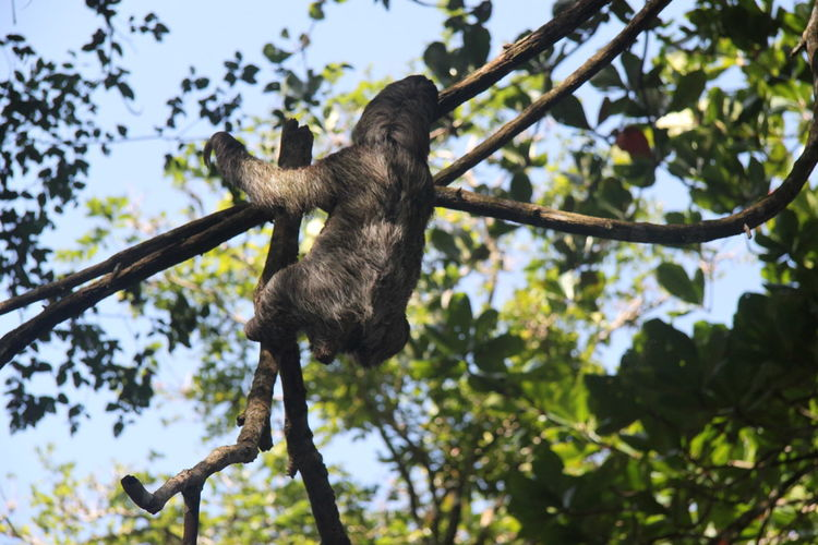 Low angle view of sloth climbing tree