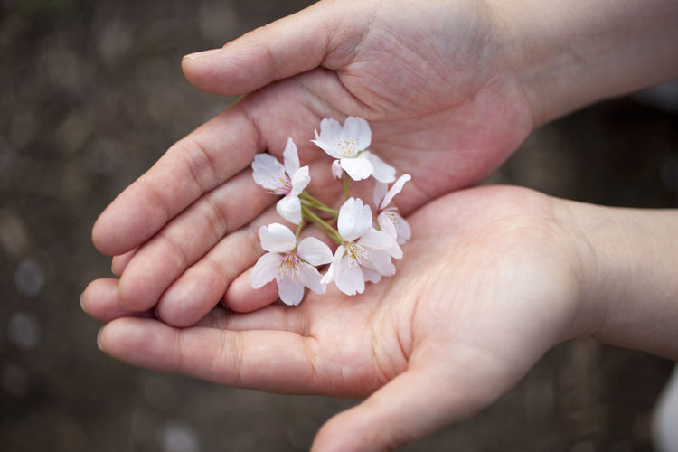 Cherry Blossoms On Hands Flower Petal Showcase April Spring Time First Eyeem Photo