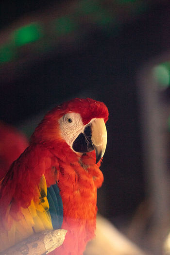Scarlet Macaw Ara macao is a large parrot found in the rainforest of South America Exotic Red Macaw Animal Themes Animals In The Wild Ara Macao Avian Bird Close-up Day Feather  Macaw Macaw Parrot Macaws Nature No People One Animal Parrot Parrots Perching Red Scarlet Macaw Tropical