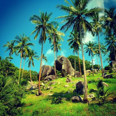 Beauty In Nature Blue Clear Sky Day Grass Green Color Growth Kohtao Nature No People Outdoors Palm Tree Palmtrees Scenics Sky Thai Tranquil Scene Tranquility Tree Tree Trunk