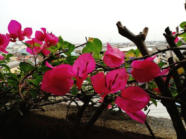 Flower Pink Color Nature Beauty In Nature No People Outdoors Fragility Plant Growth Flower Head Close-up