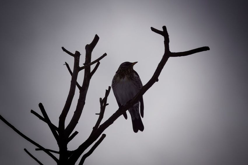 Fieldfare Showcase February 2018 Niklas Februari 2018 Animal Wildlife Silhouette Nature Animals In The Wild No People Branch Tree Animal Themes Day Bird Outdoors Perching