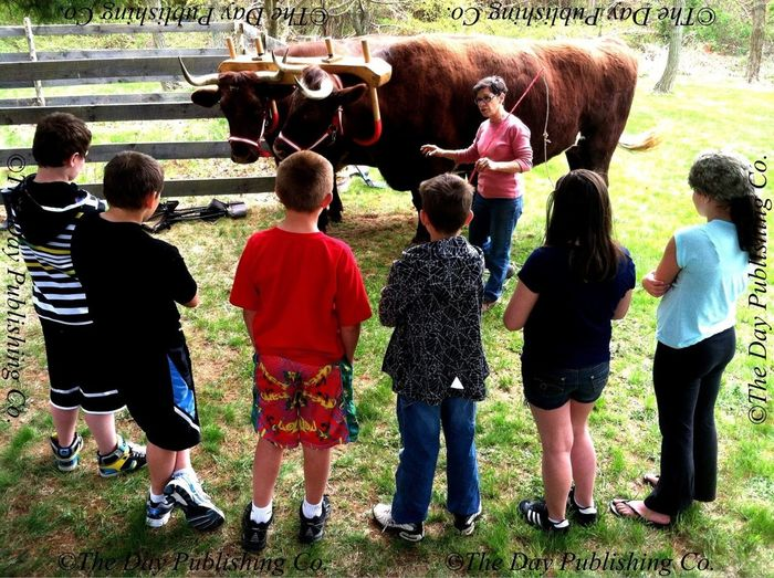EL Middle schoolers learn about oxen.