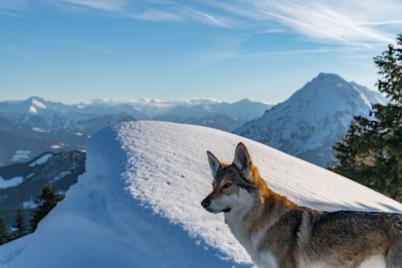 High angle view of dog on snowcapped mountain