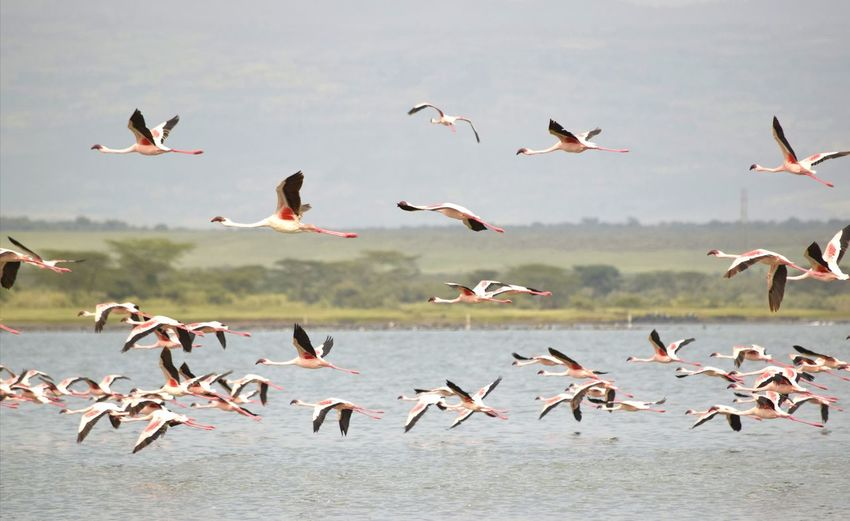 Flock of flamingos in flight over water