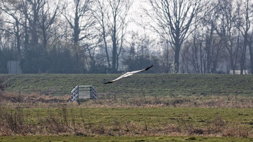 Stork Flying Away Passing By Closed Gate Playing Hard To Get ?  or Asking Attention nice shot though... Birds In Flight Dutch Landscape Landscape_photography