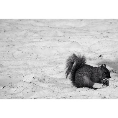 Newyork Newyorkcity NYC Sony Sonyhx50 HX50 Wildlife Squirrel Snow Park CentralPark
