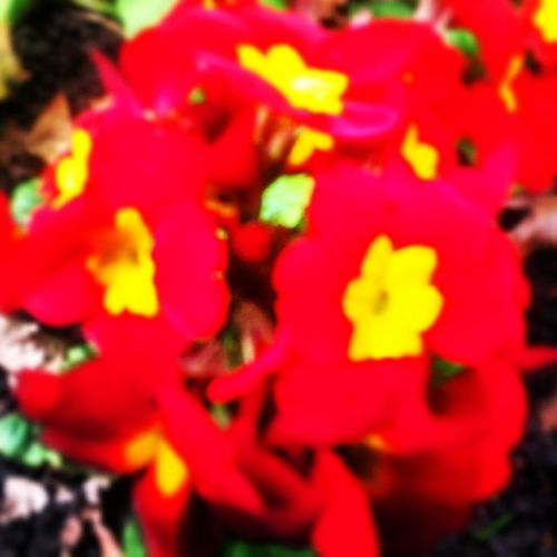 Flowers Red Yellow Nature Beauty Spring2014 Kingsheathpark