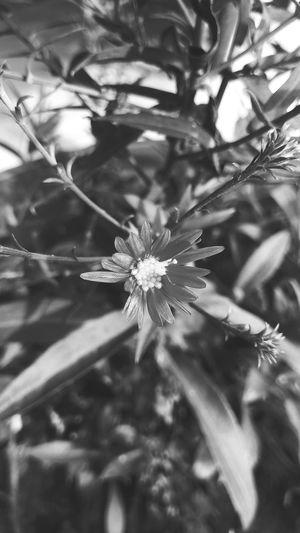single with black n white Flower Black N White Background Snowflake Flower Close-up