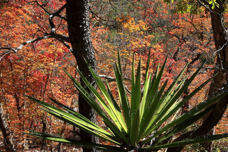 Yucca among the maples in McKittrick Canyon Autumn colors Guadalupe Mountains National Park McKittrick Canyon Texas Landscape Autumn Beauty In Nature Close-up Forest Nature Outdoors Plant Red Maple Tree Succulent Plant Yucca Plant