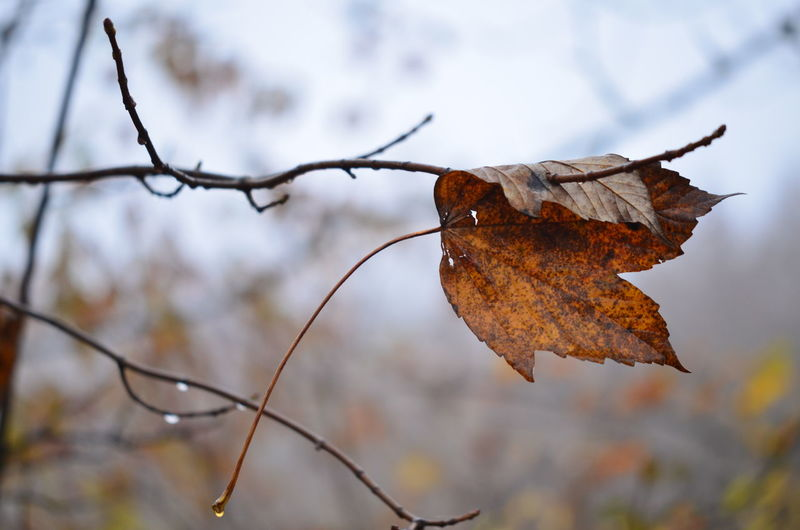 Close-up of dry maple leaves on tree during winter