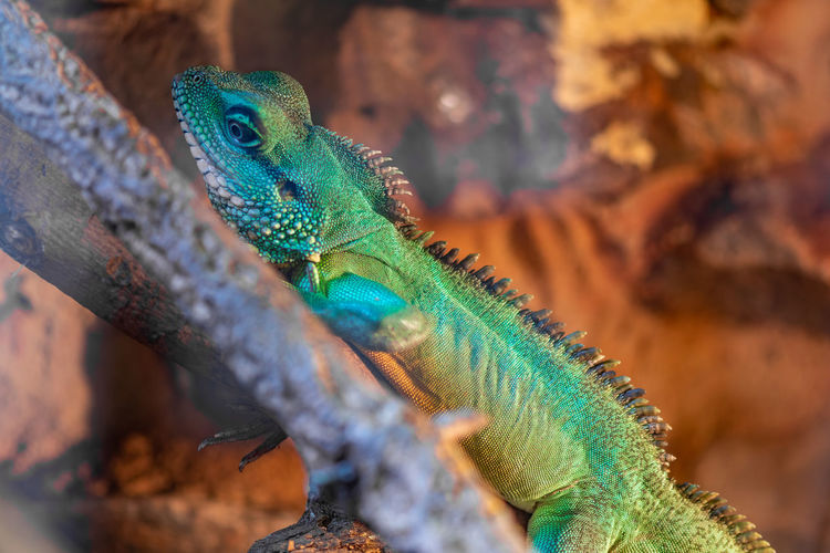 Portrait of a chinese water dragon in captivity