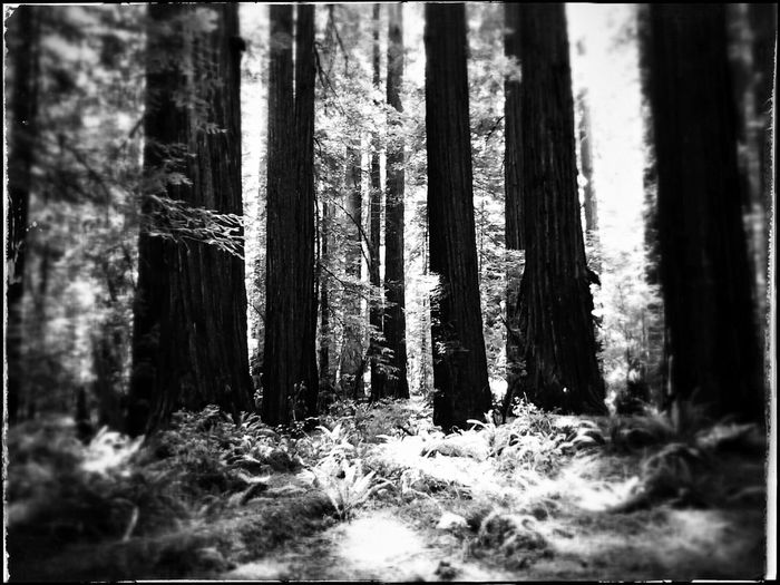 Relaxing Taking Photos The Great Outdoors For The Love Of Trees ~ What I Did Today California Redwoods