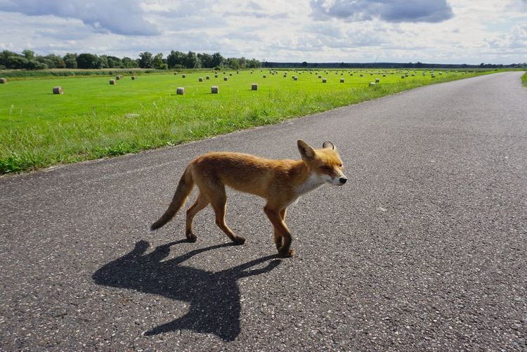 Animal Cloud - Sky Day Diminishing Perspective Domestic Animals Fox Fox🐺 Fuchs Landscape Mammal Nature Redfort Road Rotfuchs The Way Forward Vanishing Point Showcase August 2016 Showcase August