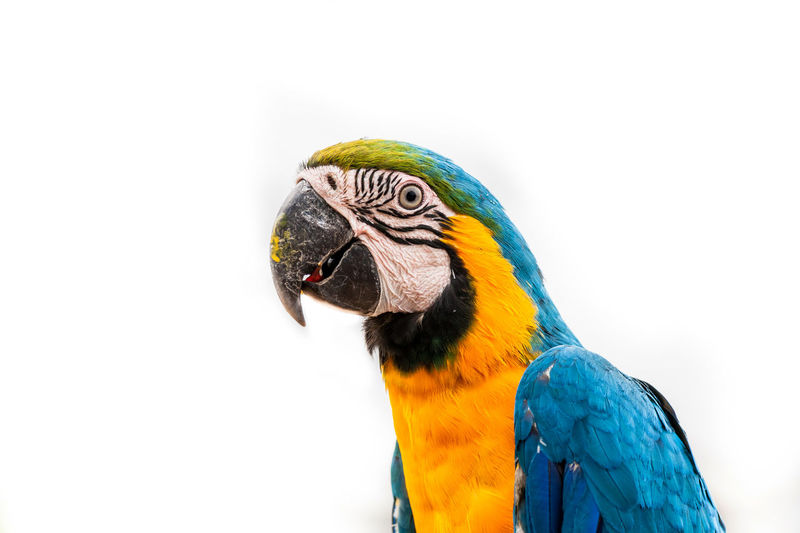 Bird Animal Themes Parrot Vertebrate Animal Animal Wildlife One Animal Animals In The Wild Macaw Close-up No People Copy Space Gold And Blue Macaw Nature Beak Multi Colored Day White Background Blue Yellow Animal Head