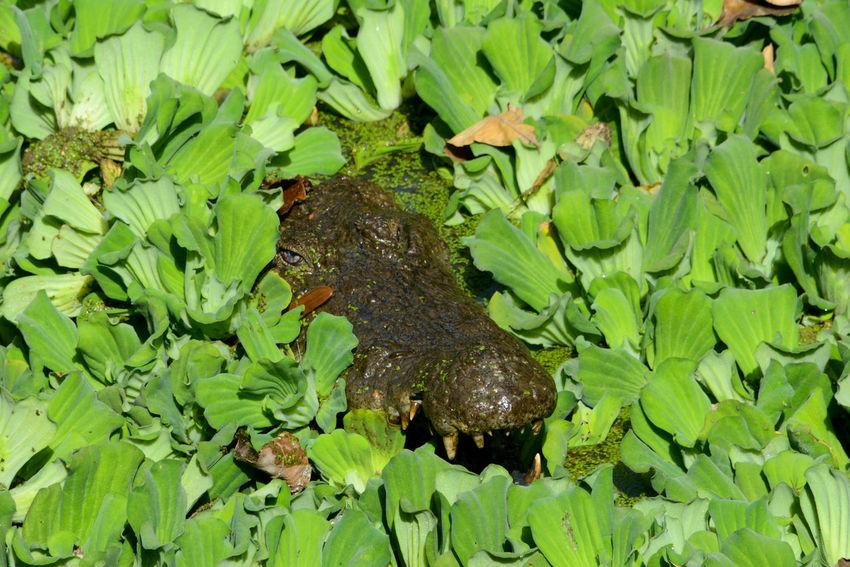 Katchikally Crocodile Pool Bakau Gambia Crocodile Eyes Katchikally Sacred Places West Africa Africa Alligator Animal Themes Animal Wildlife Animals In The Wild Bakau Close-up Crocodile Day Green Color Nature No People One Animal Outdoors Plant Pool Reptile Sacred