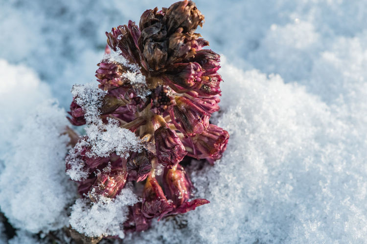 Winter Snow Cold Temperature Nature Close-up Focus On Foreground Flower Outdoors Flowering Plant Freshness Vulnerability  Frozen High Angle View White Color Plant Blossom Frozen